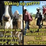 bundy cattle confiscated